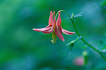 Close-up of single red Columbine