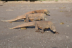 Three Komodo dragons, Varanus komodoensis, prowl along a beach in Horseshoe Bay, Rinca Island, Komodo National Park, Indonesia