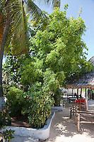 Jambiani, Zanzibar, Tanzania.  Quinine Tree.