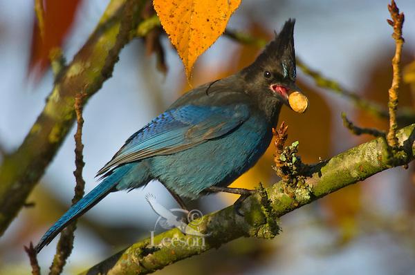 Steller's Jay (Cyanocitta stelleri).   Pacific Northwest.