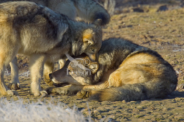 Wild GRAY WOLF (Canis lupus) behavior.  Greater Yellowstone Ecological Area.  Fall.  Young wolf (standing) is holding adult male's neck in jaws (playing).