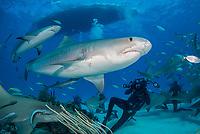 tiger shark, Galeocerdo cuvier, Caribbean reef shark, Carcharhinus perezii, and scuba diver, Bahamas, Caribbean Sea, Atlantic Ocean