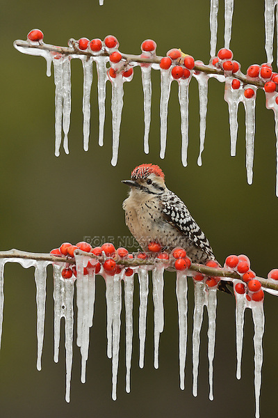 Ladder-backed Woodpecker (Picoides scalaris), adult male perched on icy branch of Possum Haw Holly (Ilex decidua) with berries, Hill Country, Texas, USA