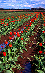 Bulb Farm, Tulips, Willamette Valley, Woodburn, Oregon