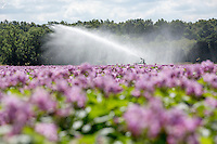 Irrigating Maris Peer potatoes with a rain gun - Norfolk, July