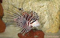 0130-1010  Antennata Lionfish (Broad-Banded Firefish, Spotfin Lionfish), Pterois antennata  © David Kuhn/Dwight Kuhn Photography