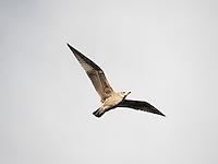 Gulls are so plentiful, we sometimes miss their skill in flight...