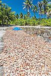 Drying the flesh from coconuts in a remote village on the island of Kiritimati in Kiribati