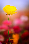 Single yellow ranunculus flower against background of blue sky and other colorful flowers