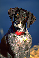 Portrait of a quizzical German Short Hair hunting dog.