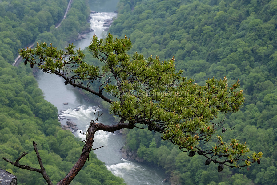 New River Gorge National Park, West Virginia.  New River behind a Conifer from Endless Wall Trail.