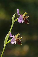 Gehörnte Ragwurz, Bremsen-Ragwurz, Ophrys oestrifera, Ophrys cornuta, Ophrys bremifera, Horned Woodcock, Ragwurzen, Kerfstendel, Mimikry, Lockmimikry