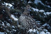 Spruce Grouse, Mendeltna, Alaska. Photo by James R. Evans