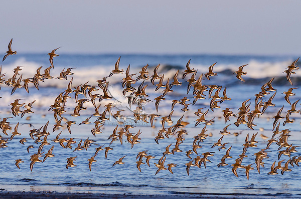 Mixed flock of shorebirds--mostly western sandpipers--flying along Pacific Ocean tideline on northern migration,  Washington State.  Sunset.