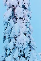 Europe/Finlande/Laponie/Levi: Sapin dans la nuit polaire dans la montagne de Levi
