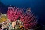 Red Whip Coral (Ellisella cercida)
