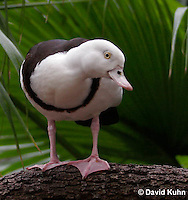 0217-08ss  Radjah Shelduck, Tadorna radjah © David Kuhn/Dwight Kuhn Photography