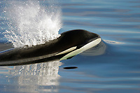 Killer Whale, Orcinus orca, bull just beginning to surface in Chatham Strait,