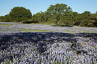 Texas Oak Trees stand amid a meadow of bluebonnets
