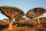 .Dragon's blood tree (dracanea cinnabari) on the Diksam plateau. Socotra island. Yemen