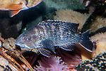 Black sea bass on deep boulder reef