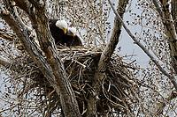 Bald Eagles on nest, Colorado