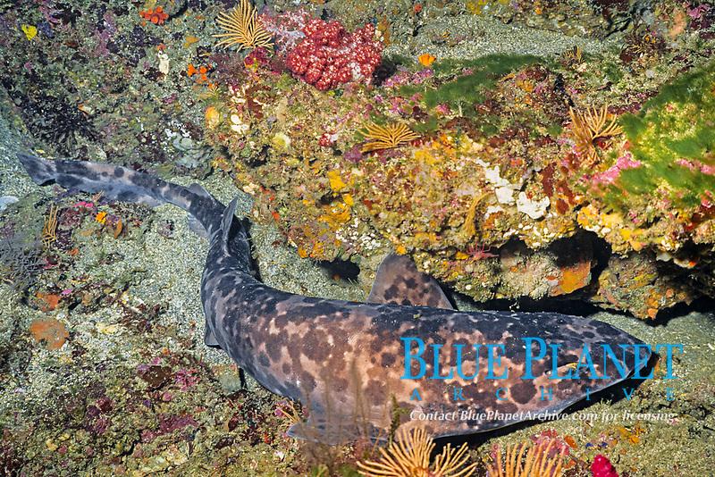 blotchy swell shark, draughtsboard shark, Cephaloscyllium umbratile, Izu ocean park, Sagami bay, Izu peninsula, Shizuoka, Japan, Pacific Ocean