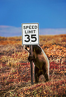 Grizzly bears can run up to 35 miles per hour. Bear chews on speed limit sign, autumn, Denali National Park