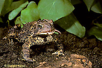 FR15-017x  American Toad - toad in garden eating worm prey - Anaxyrus americanus, formerly Bufo americanus