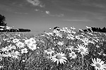 Europa, DEU, Deutschland, Nordrhein Westfalen, NRW, Rheinland, Niederrhein, Kervenheim, Feld, Acker, Ackerrand, Ackerrandpflanzen, Blumen, Blueten, Sommer, Kategorien und Themen, Natur, Umwelt, Pflanzen, Pflanzenkunde, Botanik, Biologie, Natur, Naturfoto, Naturfotos, Naturfotografie, Naturphoto, Naturphotographie, Landschaft, Landschaften, Landschaftsfoto, Landschaftsfotografie, Landschaftsphoto, Landschaftsphotographie<br /> <br /> <br /> [Fuer die Nutzung gelten die jeweils gueltigen Allgemeinen Liefer-und Geschaeftsbedingungen. Nutzung nur gegen Verwendungsmeldung und Nachweis. Download der AGB unter http://www.image-box.com oder werden auf Anfrage zugesendet. Freigabe ist vorher erforderlich. Jede Nutzung des Fotos ist honorarpflichtig gemaess derzeit gueltiger MFM Liste - Kontakt, Uwe Schmid-Fotografie, Duisburg, Tel. (+49).2065.677997, <br /> archiv@image-box.com, www.image-box.com]
