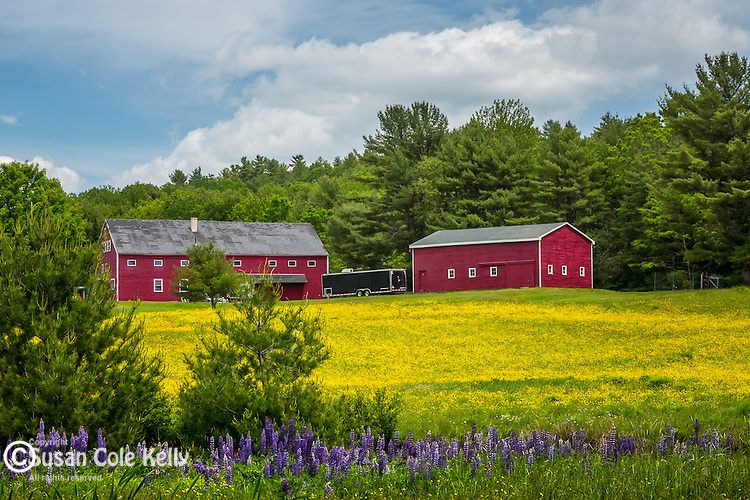A red farm with a field of buttercups and lupines  in Newcastle, Maine, USA, WIM