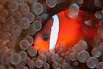 Taveuni, Fiji; a Tomato Clownfish swimming in it's bubble-tip anemone