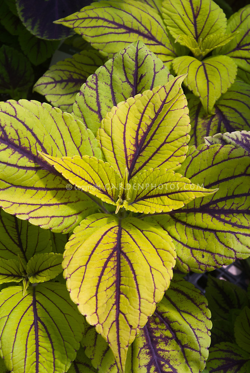 Coleus Solenostemon Gay's Delight, yellow green foliage plant with red magenta purple veins, ornamental annual plant leaves