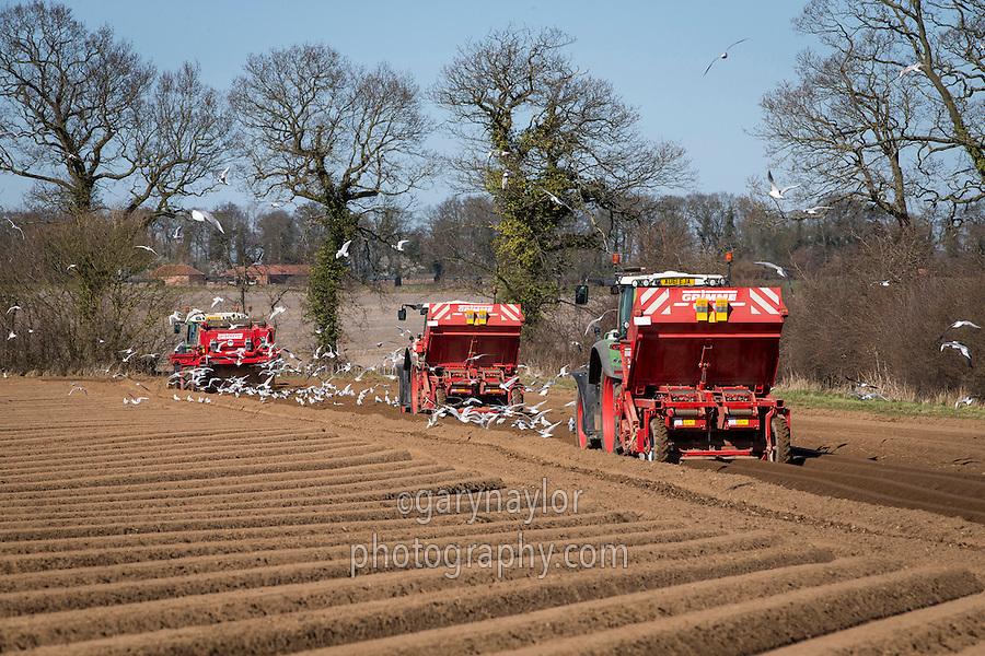 Destoning & planting Estima potatoes - Norfolk, March