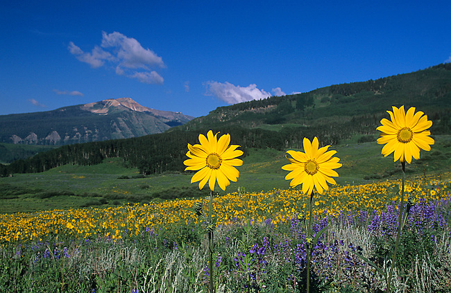 Wildflowers, Mules Ears, Crested Butte, Colorado