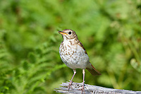 hermit thrush, Catharus guttatus, singing on log on ground, Nova Scotia, Canada