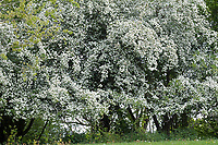 Eingriffliger Weißdorn, Eingriffeliger Weißdorn, Weissdorn, Weiß-Dorn, Weiss-Dorn, Hagedorn, Crataegus monogyna, hawthorn, common hawthorn, oneseed hawthorn, single-seeded hawthorn, English Hawthorn, May, L'Aubépine monogyne, L'Aubépine à un style, Hecke, Knick, Weißdorn-Hecke, Hecken
