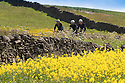 10/06/15<br /> <br /> Surrounded by buttercups and rapeseed, cyclists makes their way through Britain's 'yellow and pleasant land' as the sun beats down near High Bradfield in the South Yorkshire Peak District.<br /> All Rights Reserved: F Stop Press Ltd. +44(0)1335 418629   www.fstoppress.com.