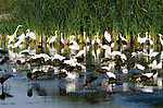 Snowy egrets, great egrets, and glossy ibis, feeding on small fish, San Luis National Wildlife Refuge Complex, California, USA