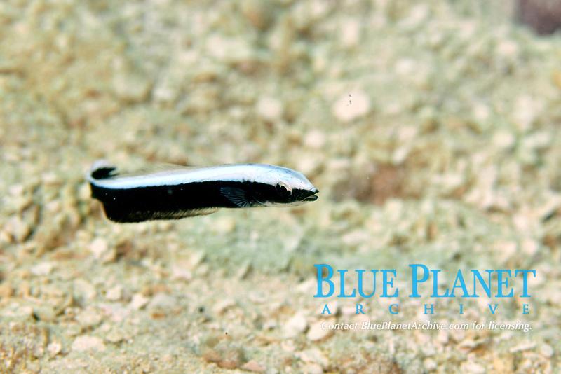 Juvenile blue blanquillo, Malacanthus latovittatus, Pohnpei, Federated States of Micronesia