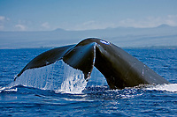 humpback whale, Megaptera novaeangliae, fluke-up dive, Kohala Coast, Big Island, Hawaii, USA, Pacific Ocean