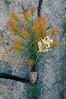 Wide-fruit mariposa and palish indian<br />    paintbrush near Big Trinity Lake<br /> Trinity Mountain<br /> Boise National Forest,  Idaho