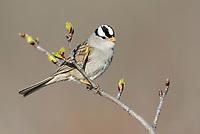 White-crowned Sparrow (Zonotrichia leucophrys) in spring alder. Yukon Delta National Wildlife Refuge, Alaska. May.