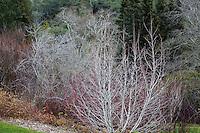 Alnus tenuifolia - Mountain Alder; California native deciduous small tree, bare branches in winter in shrub border with Cornus,