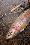 A fall rainbow trout, Kulik, AK