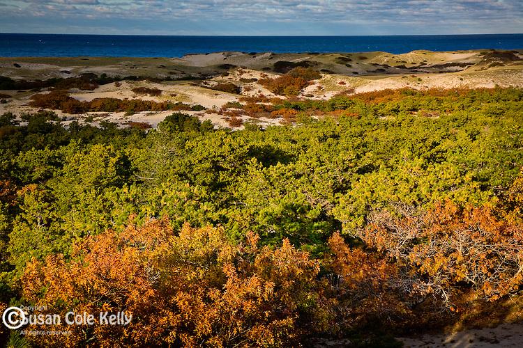 Scrub Oaks turn russet in autumn at Provincelands, Cape Cod National Seashore, MA, USA
