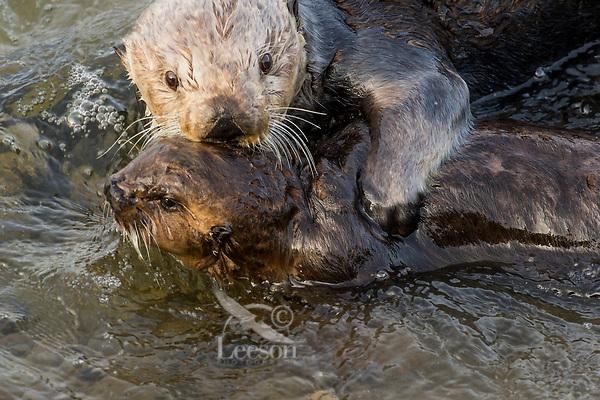 Southern Sea Otter mom grabbing wayward pup that has swam too close to shore.  Central California.