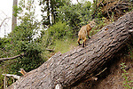 Bobcat (Lynx rufus californicus) walking up log in deciduous forest, Aptos, Monterey Bay, California