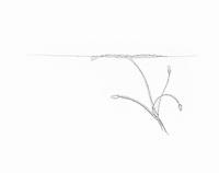 Watergentiaan (Nymphoides peltata)