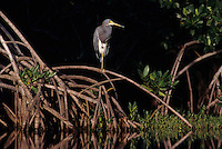 Tricolored Heron, Egretta tricolor, adult on Mangrove Tree, Ding Darling National Wildlife Refuge, Sanibel Island, Florida, USA